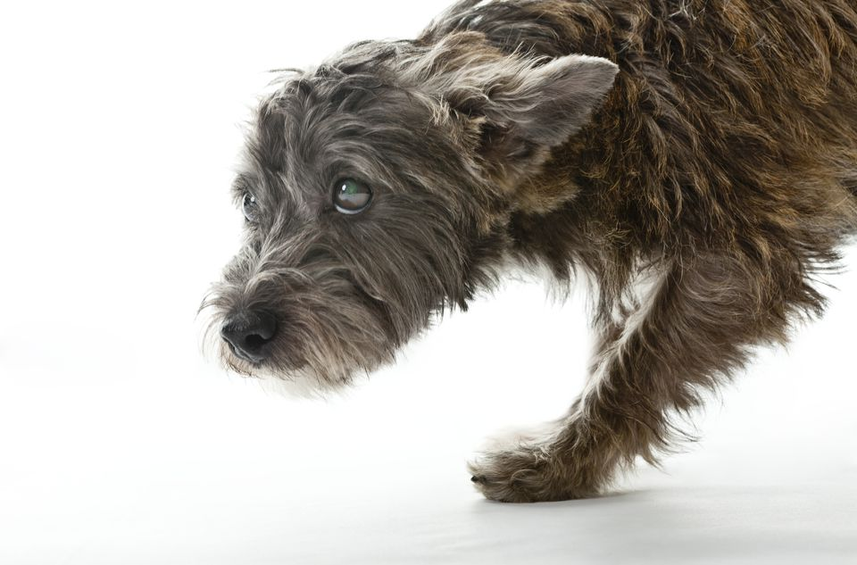 Small Worried Looking Mixed Breed Dog
