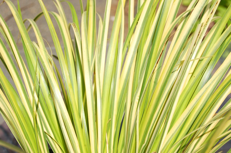 Grass-like leaves of Ogon sweet flag, a variegated plant.