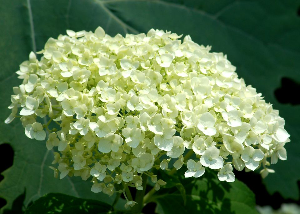 Incrediball hydrangea (photo) is so called due to its massive flower head. It's incredible!