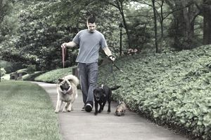 a man walking a trio of dogs