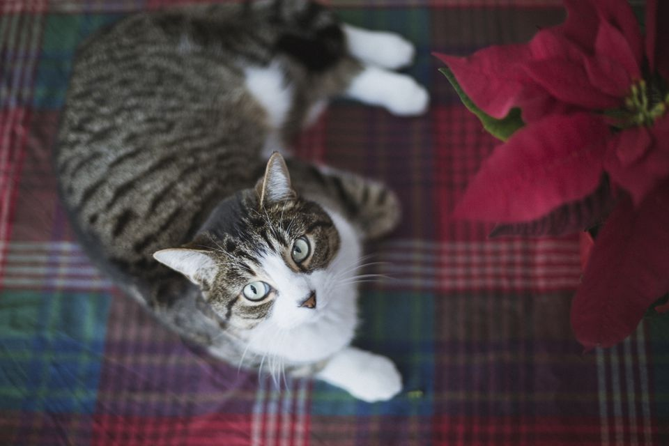 cat looking up the camera with a poinsettia flower
