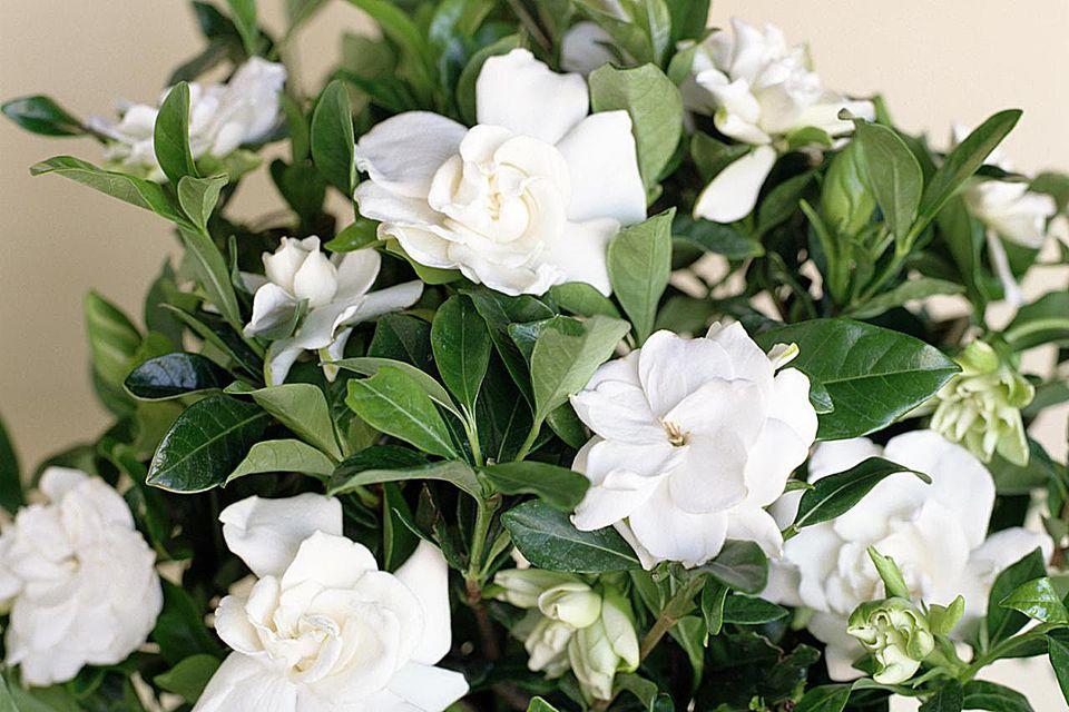 Gardeniahow to grow gardenia indoors mightylinksfo