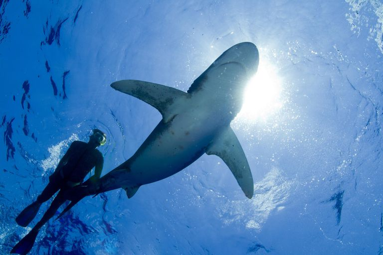 Snorkeling with Predatory Oceanic Whitetip Sharks