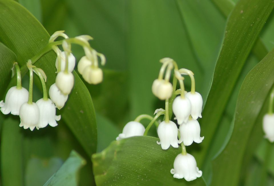 Lily-of-the-valley flowers displaying their bell-like shape.