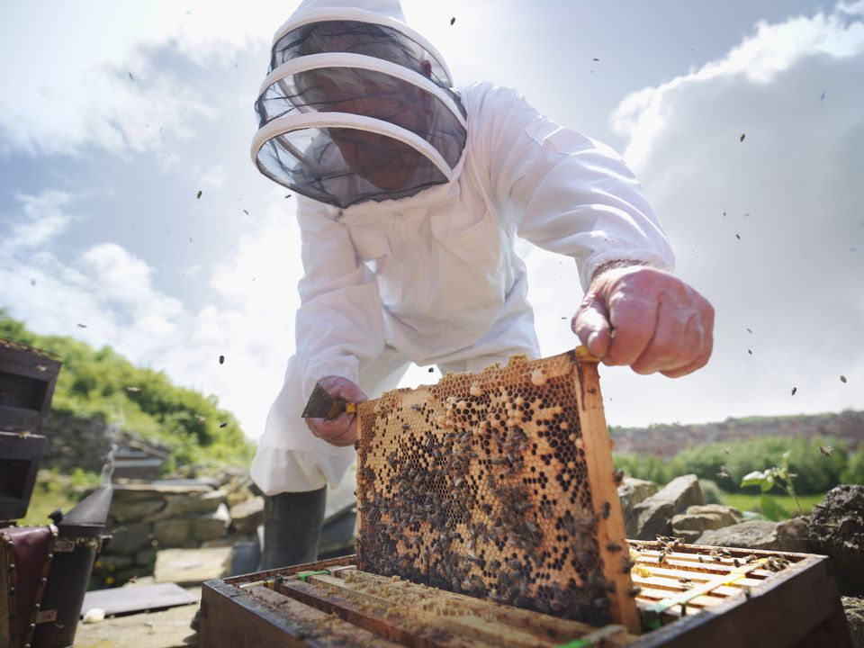 Inspecting honey bee hive