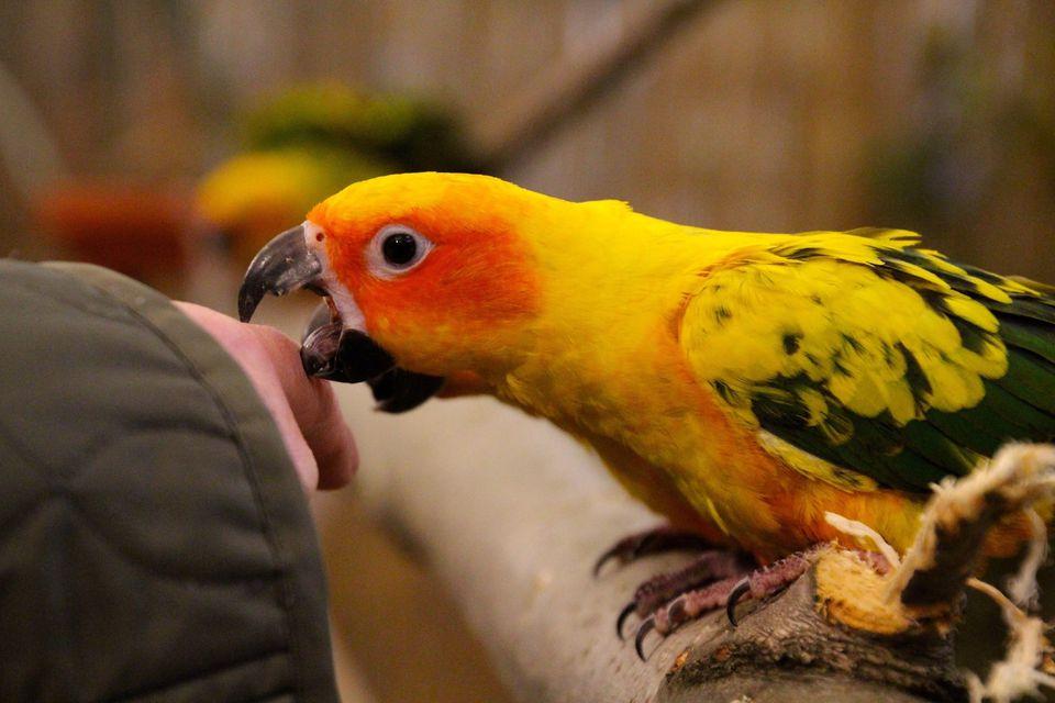 Signs of Hormonal Behavior in Parrots - photo#50