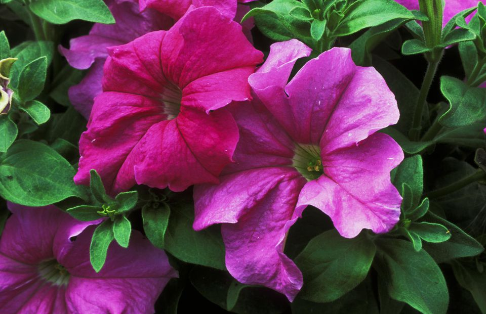 Petunia grandiflora sublime- storm lavander . annual. close up of large pink flowers of plant.