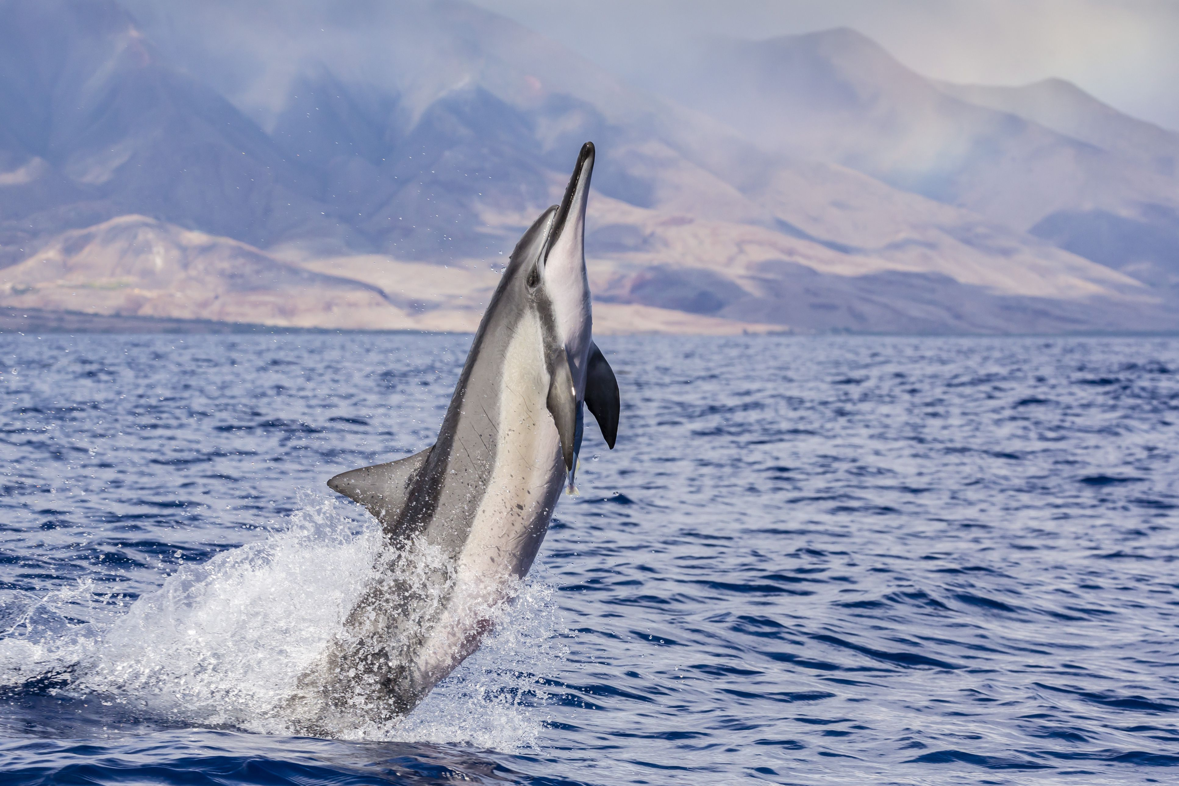 spinner dolphin facts