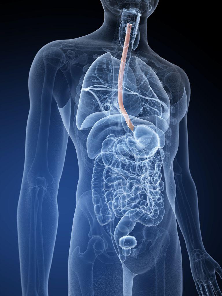 Human food pipe, illustration