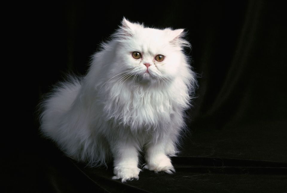 Photo of a white Persian cat