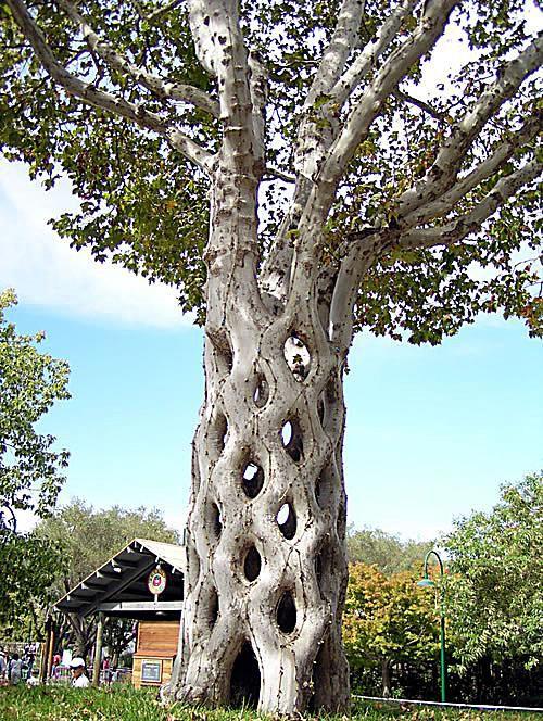 Erlandson's Basket Tree
