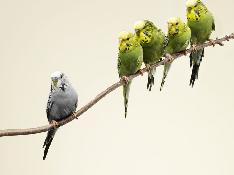 Grey budgie standing apart from green budgies