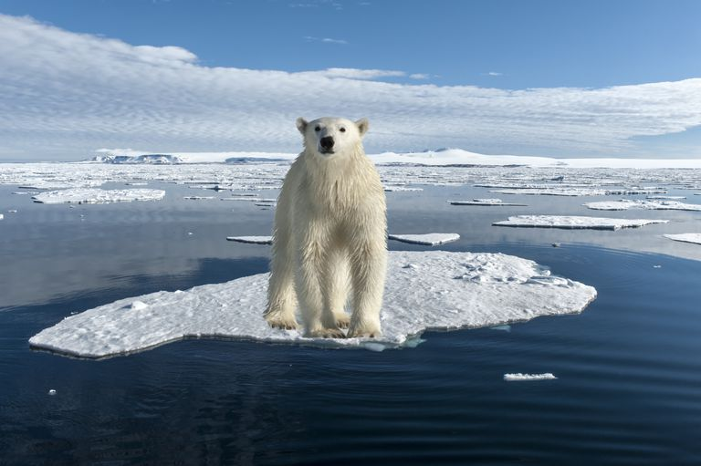 Polar ice melts may contribute to the extinction or evolution of polar bears.