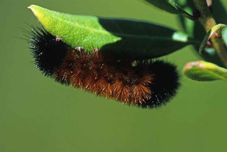 Can the woolly bear caterpillar predict coming winter weather?