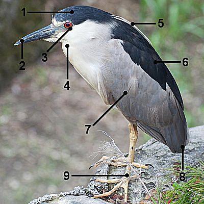 Adult Black-Crowned Night-Heron