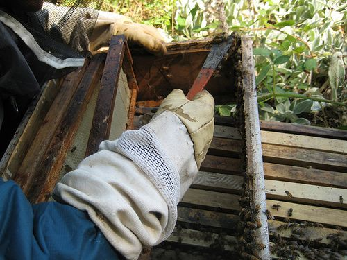 A beekeeper uses a hive tool to scrape bee propolis from the hive.