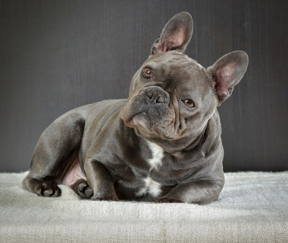 Portrait Of French Bulldog Relaxing On Bed At Home