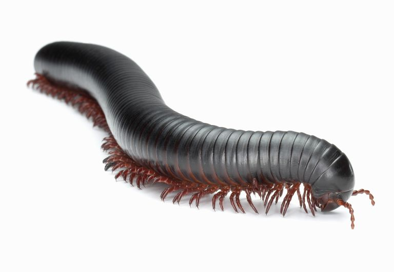 Giant African millipede.