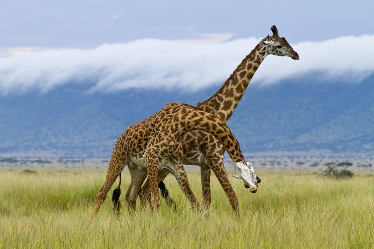 'Masai giraffes (Giraffa cameleopardalis tippelskirchi), two males fighting, Masai Mara, Kenya'