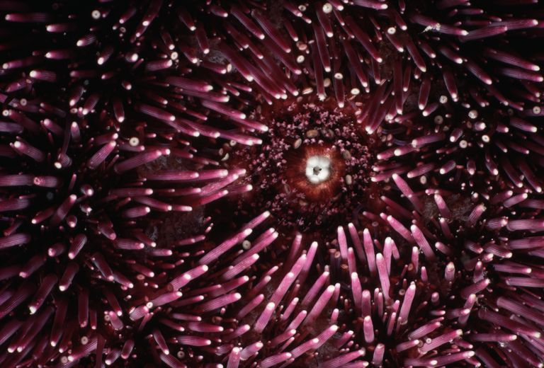 Mouth of Sea Urchin