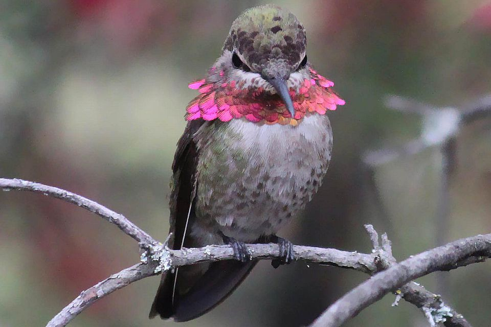 Anna's Hummingbird Showing Anger