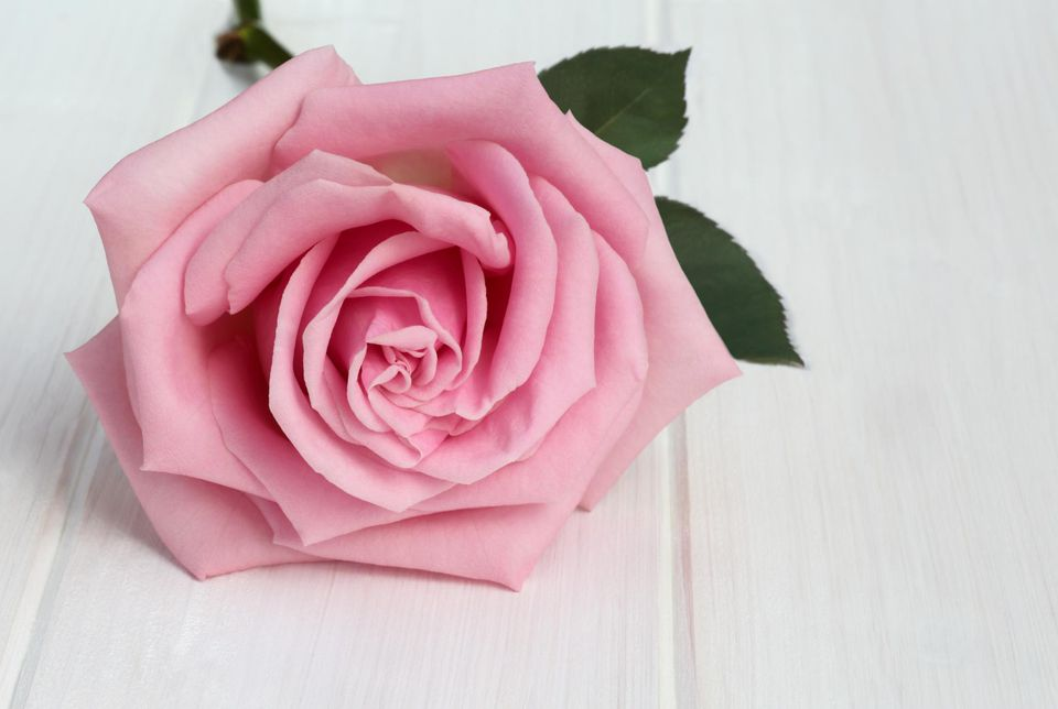 Delicate pink rose on white wood-grained