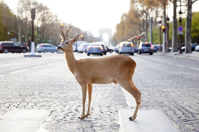 Deer on Crosswalk