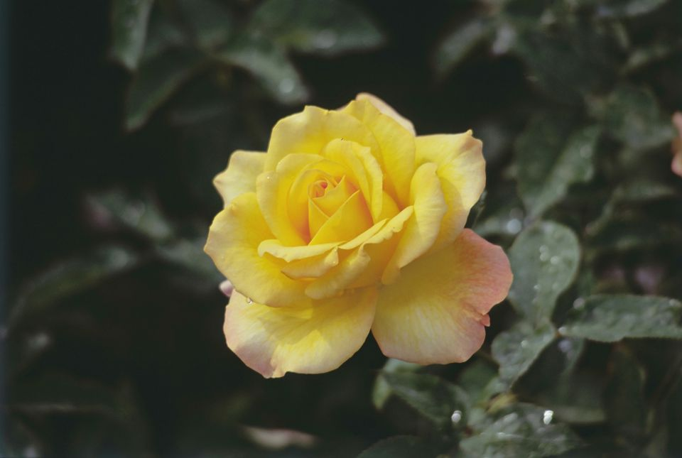 10 best shrubs with yellow flowers closeup of yellow flower of gold medal rose bush mightylinksfo