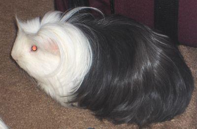 Shrek - Guinea Pig Picture