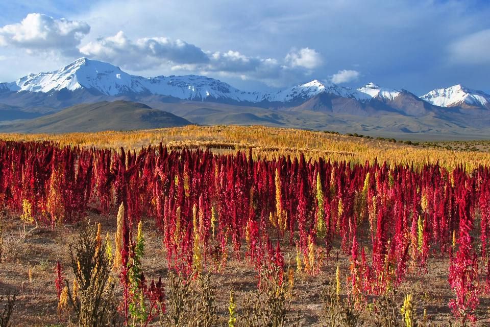 Fields of quinoa