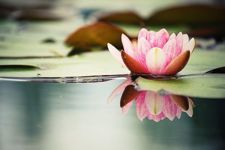 Water Lily (Nelumbo species)