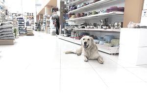 Cute Golden Retriever in pet store
