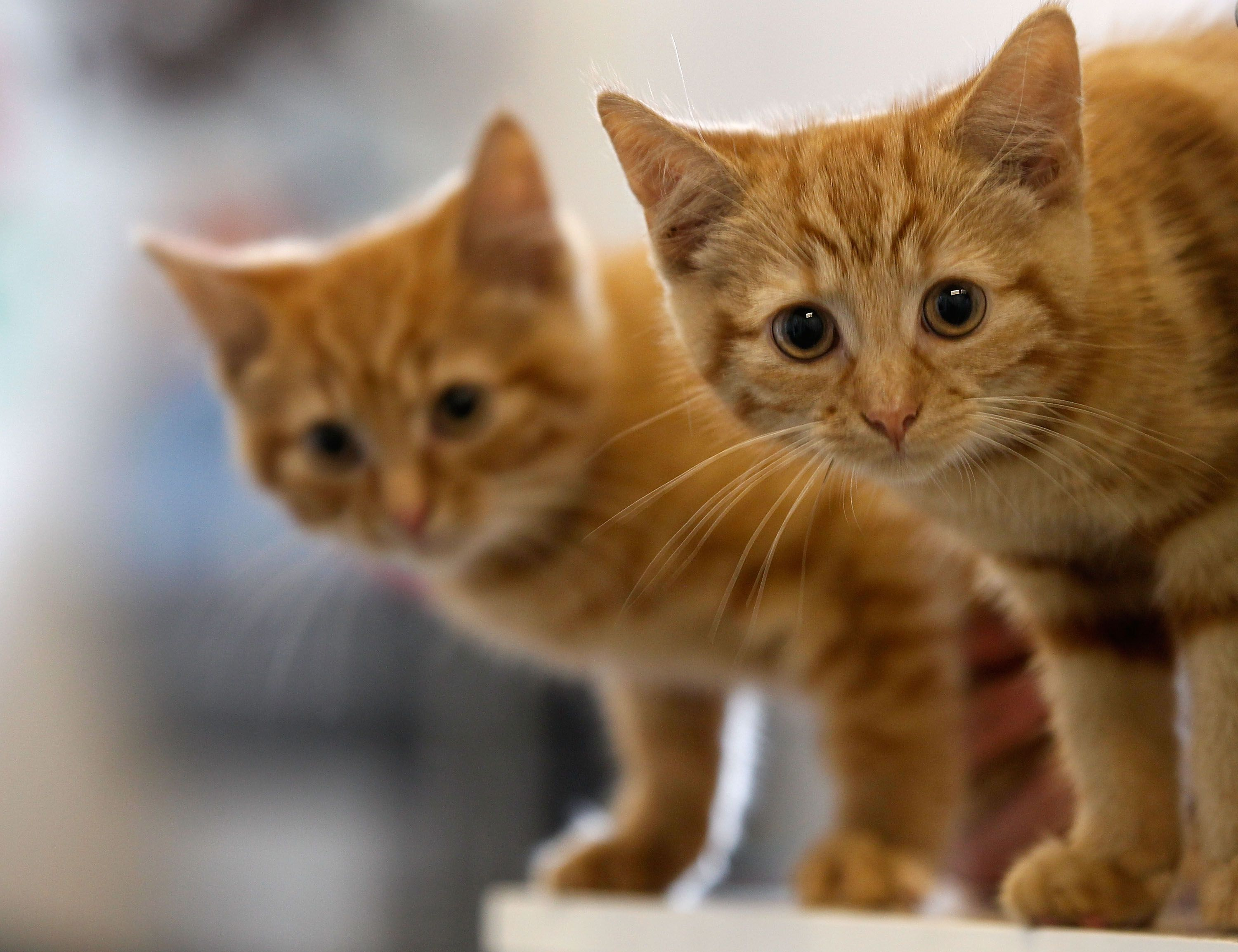 the signs symptoms u0026 treatment of roundworms in cats