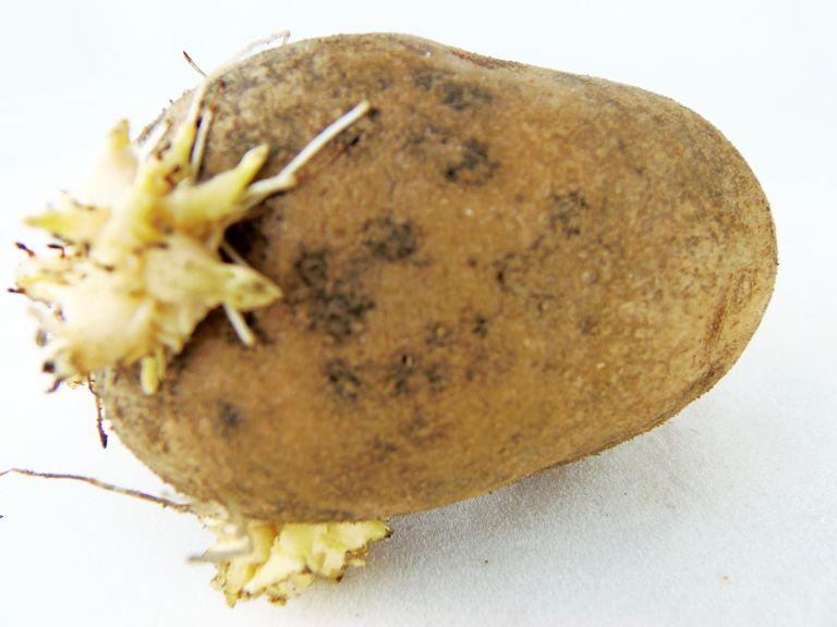 sproutedpotato.jpg