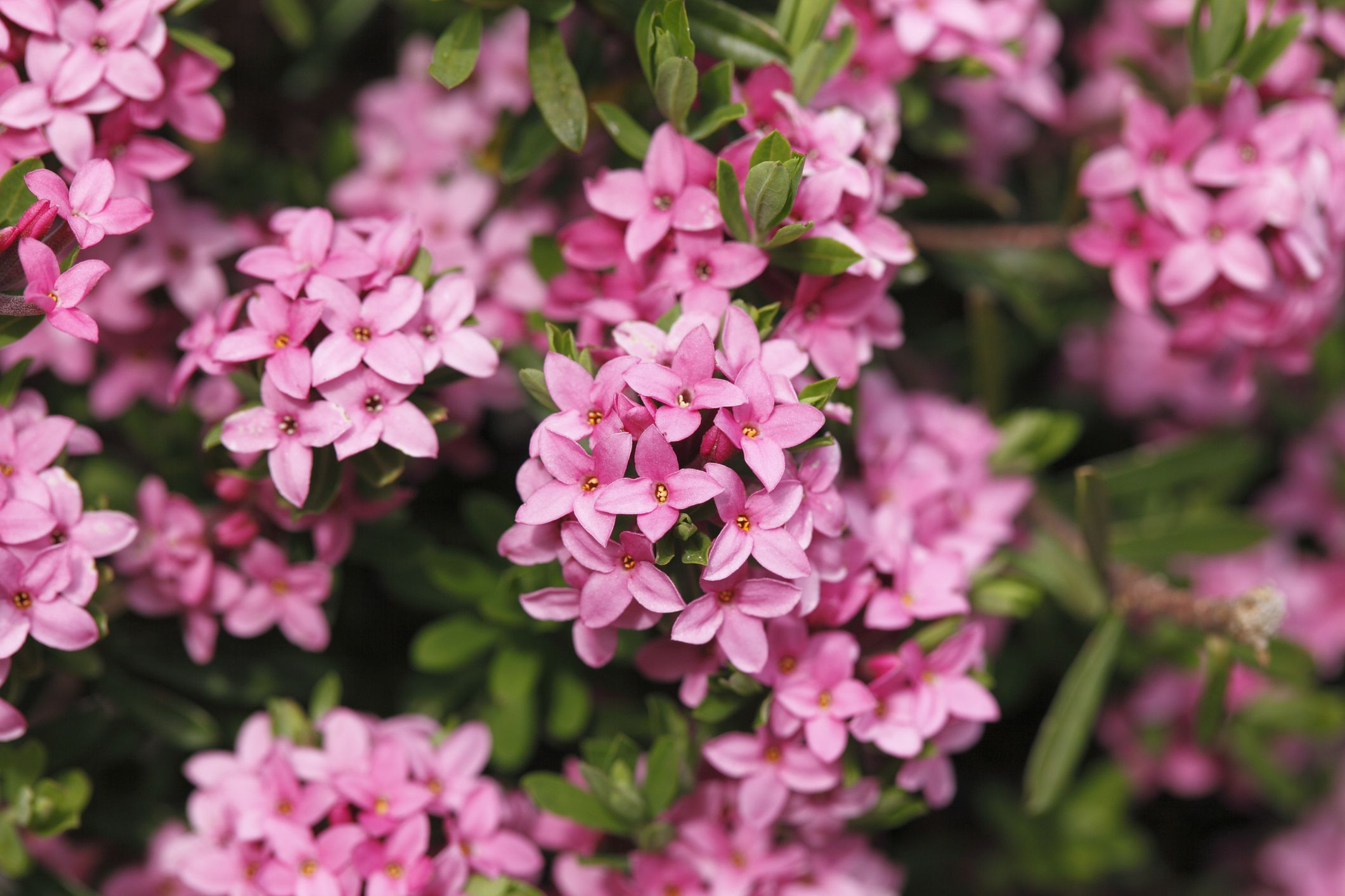 Best shrubs with pink or magenta flowers for Pink flowering shrubs