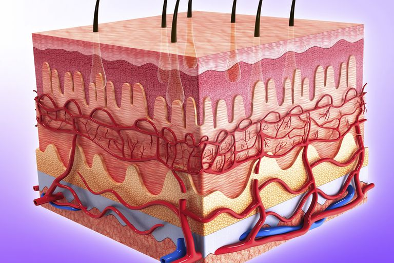A cross-section of the skin.