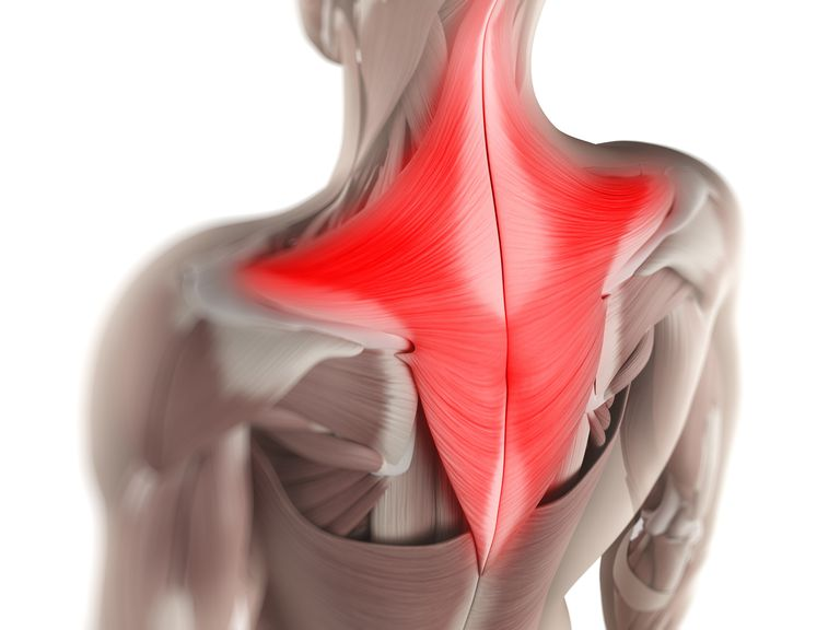 Model showing location and shape of trapezius muscle.