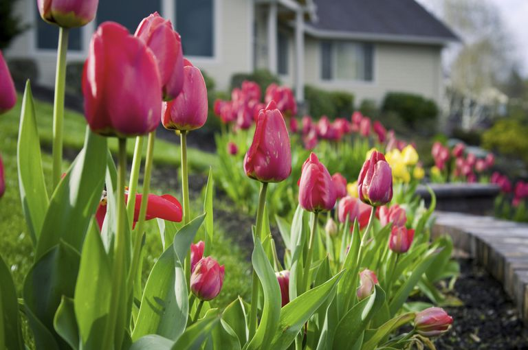 tulips in flower bed in front of house