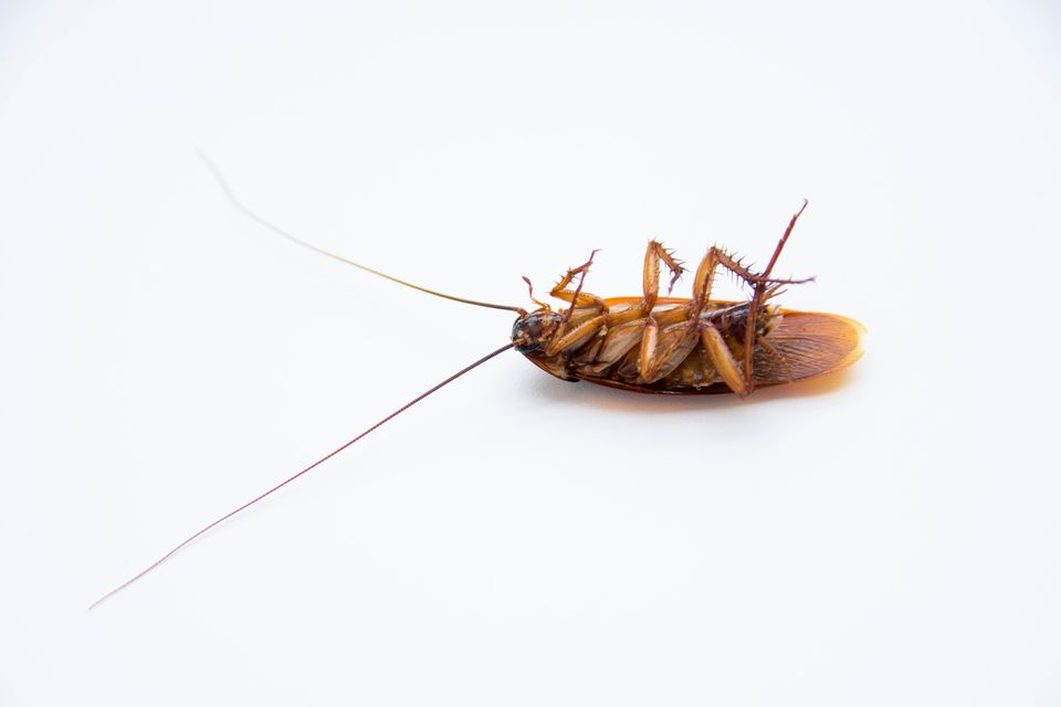Close-Up Of Dead Cockroach On White Background