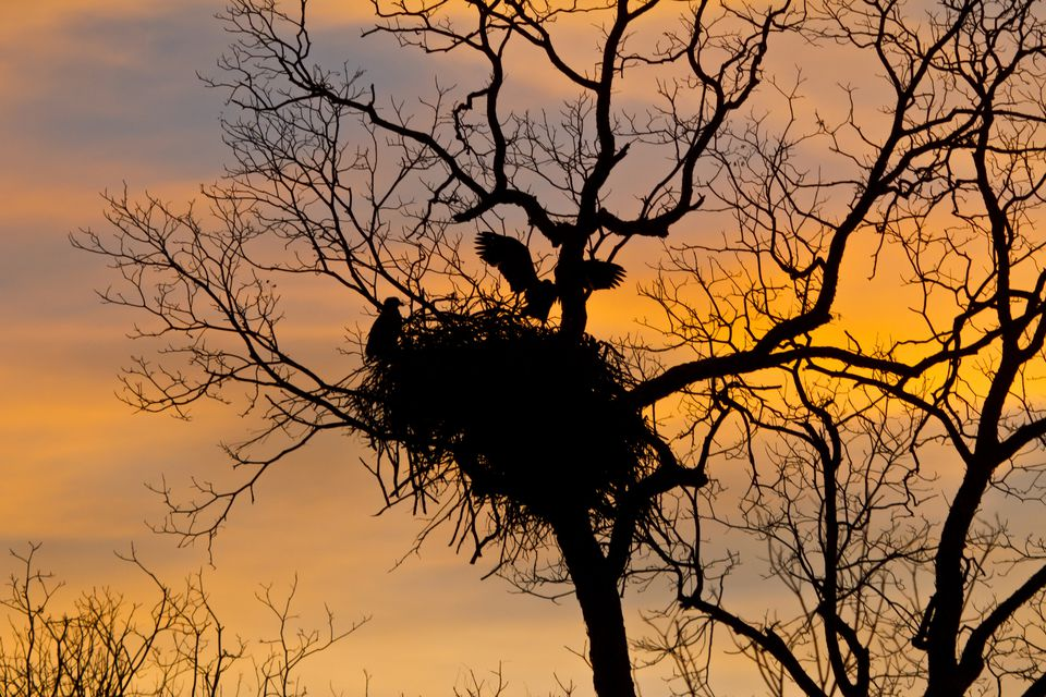 Eagle nest in Texas