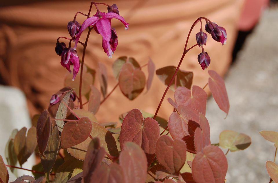 Rose Queen Epimedium image.