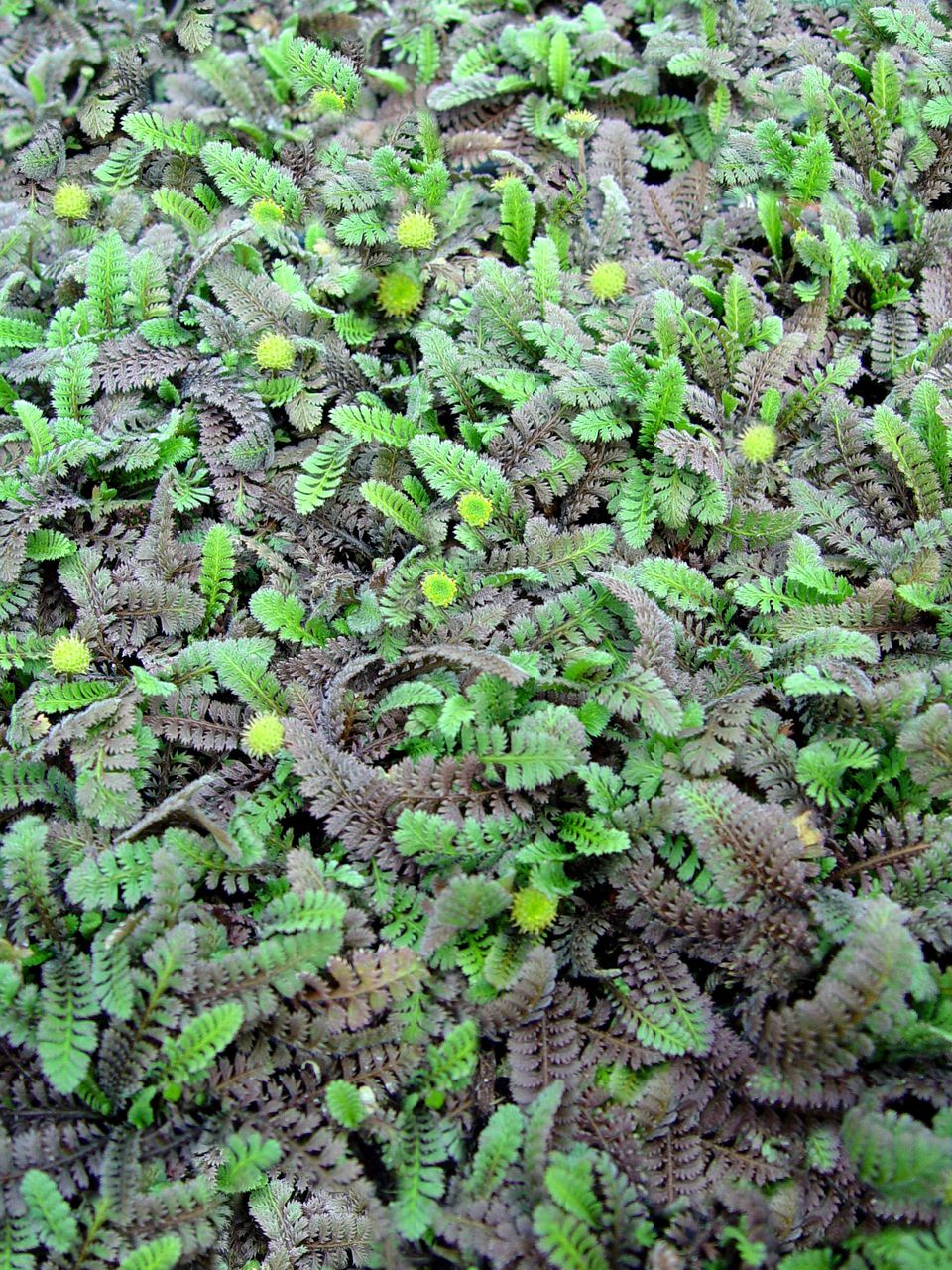 Leptinella squalida (New Zealand Brass Buttons)