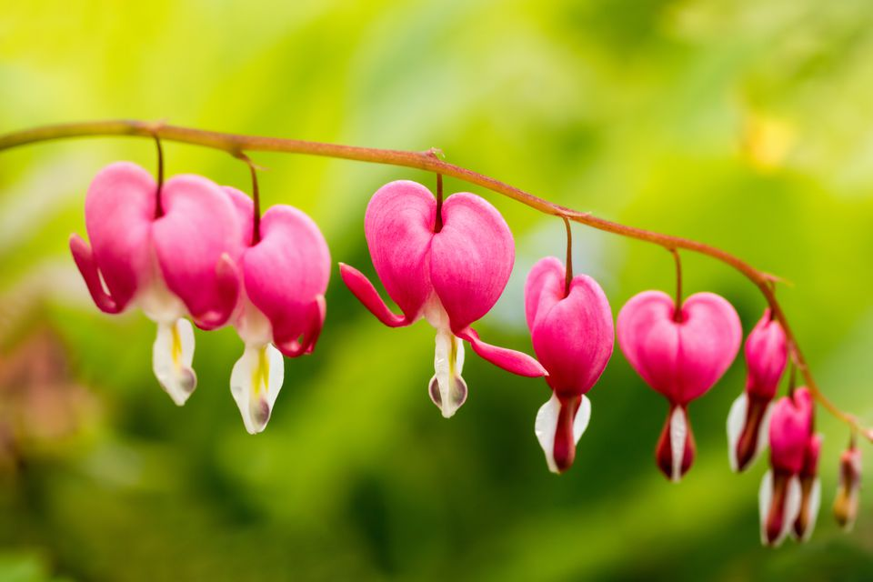 My bleeding hearts