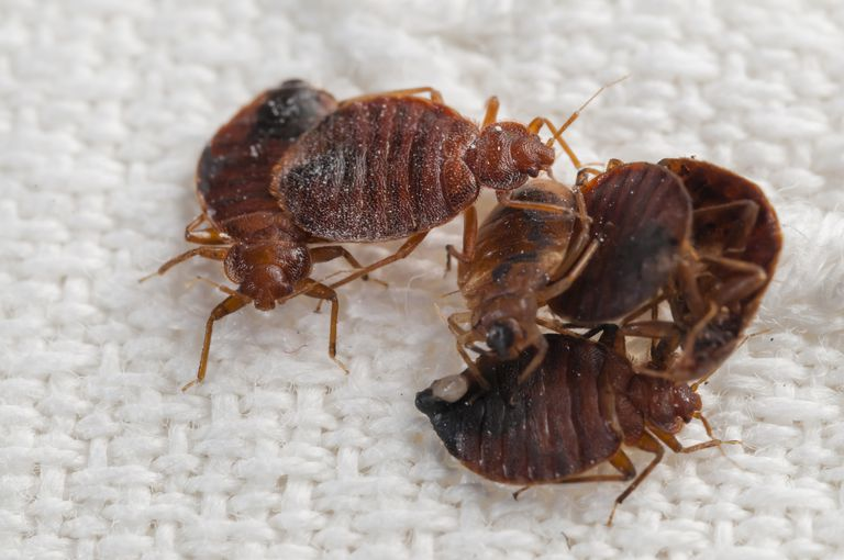 Bed bugs on a bed sheet.