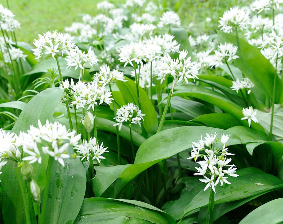 Woodland Wild Garlic