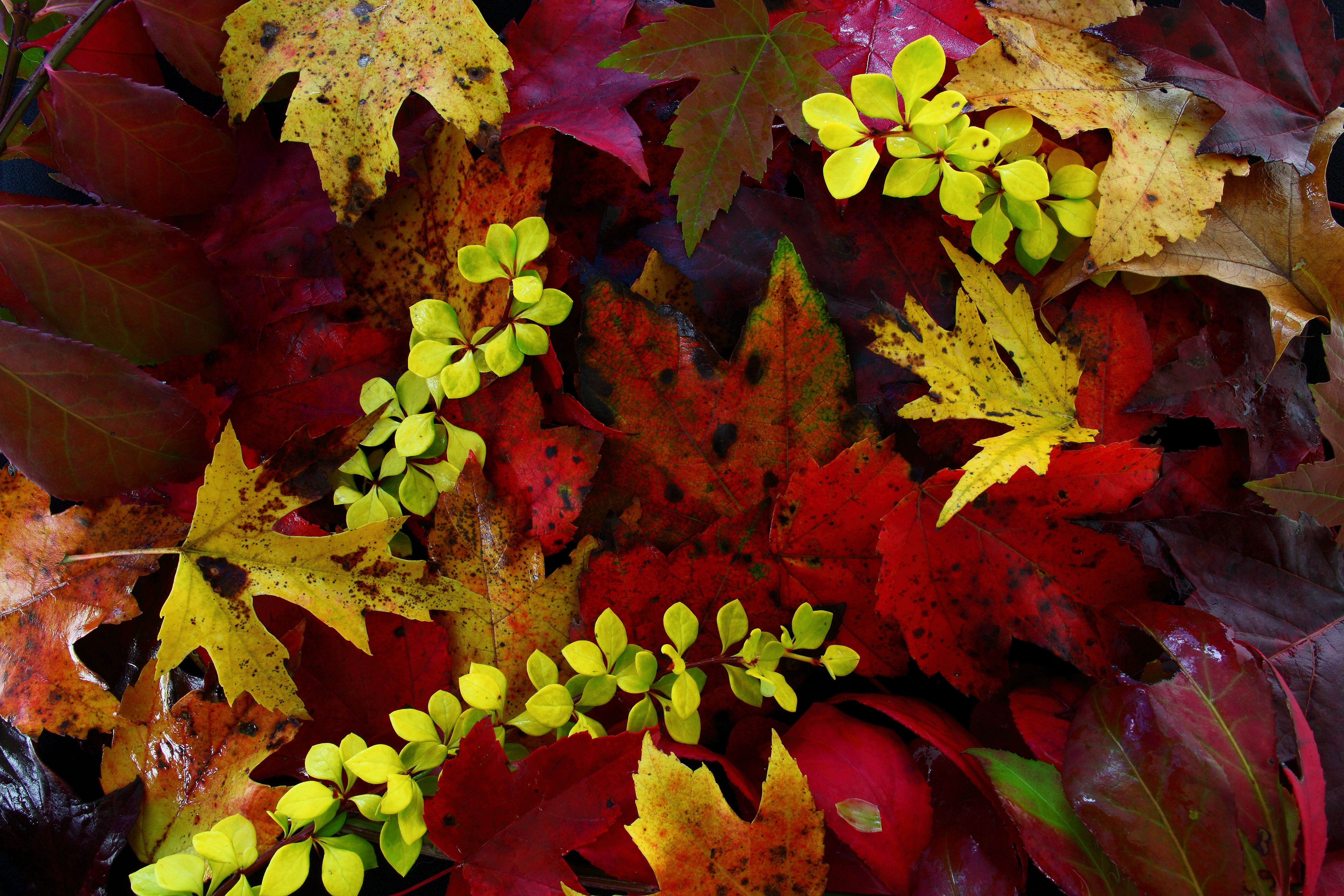 Predicting Fall Color and Autumn Leaf Display