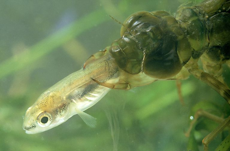 What do adult and immature dragonflies eat for Fish eating bat