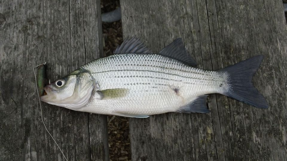 Fish species of lake norman for Michigan fish size limits
