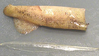 squid calamari tail tube cartilage recipe seafood cuttlefish receipt