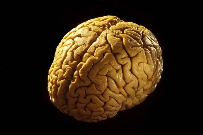 Cerebrum Brain